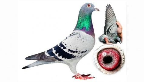 Burung Merpati Termahal di Dunia
