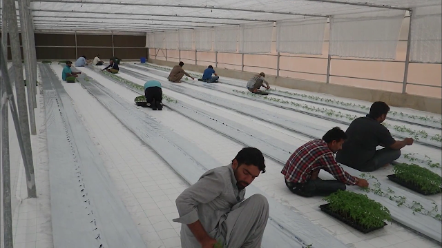 الزراعة بدون تربة في اليابان - امارة دبي الزراعة بدون تربة