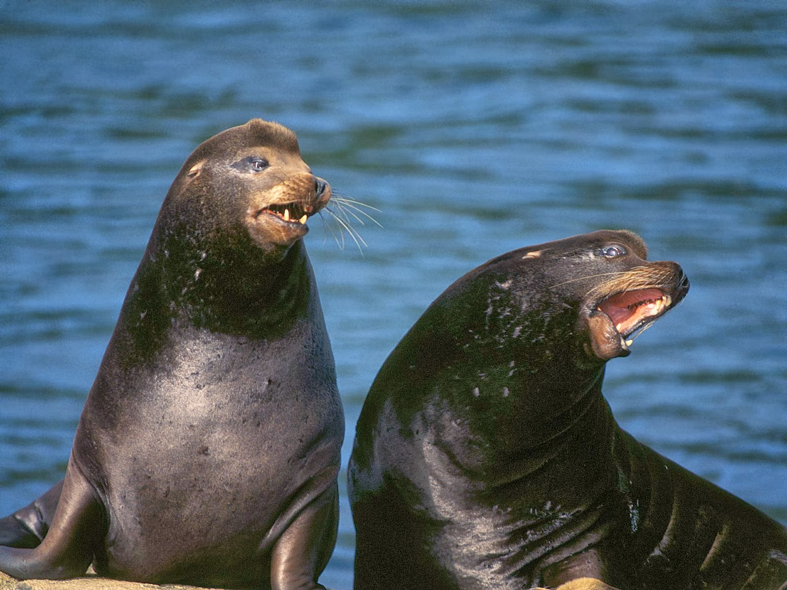 California Sea Lion HD Wallpapers