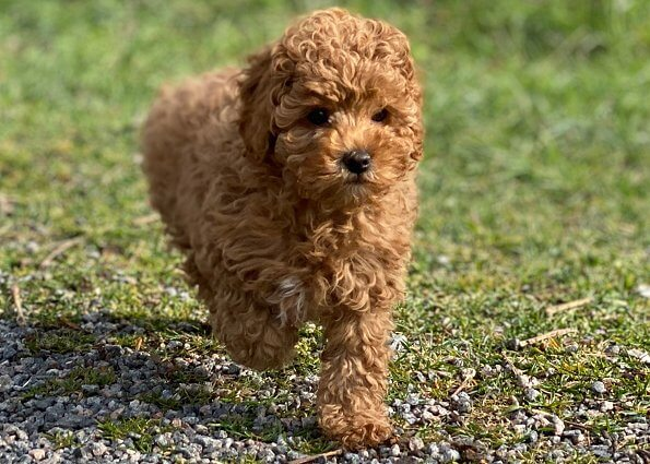 The puppy is called Rio, and is a mix between a King Charles Cavalier Spaniel and a Poodle