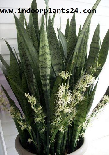 sansevieria trifasciata snake plant image flower photos