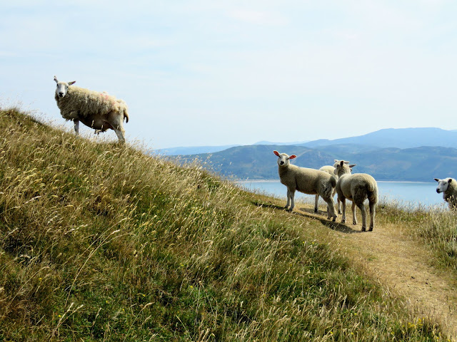 Things to do in Llandudno: Hike with the sheep at Great Orme Country Park