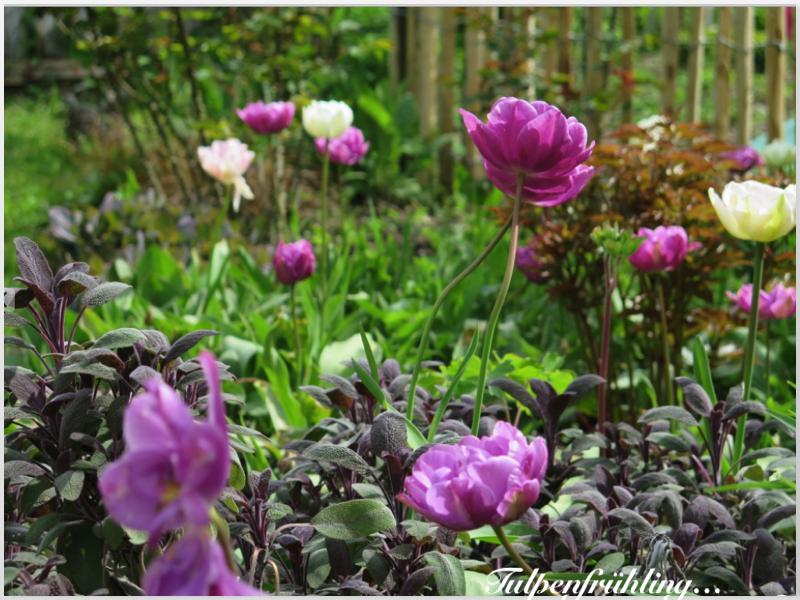garten am engerain tulpen tulpen tulpen. Black Bedroom Furniture Sets. Home Design Ideas