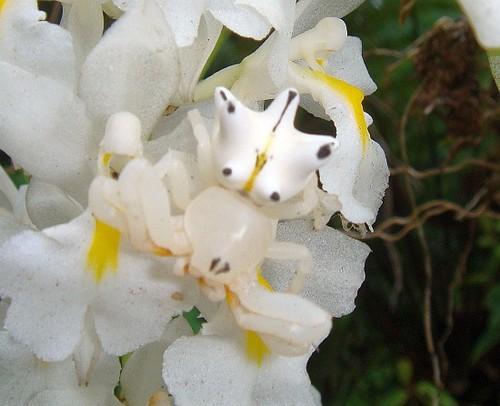 ARANHA-FLOR - UMA DAS POUCOS ARANHAS QUE NÃO NOS CAUSAM ARREPIOS A aranha que adquire a cor da flor para se camuflar e se ilumina para atrair vítimas.