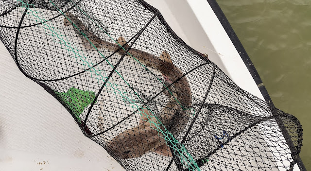 Photo of the dogfish in the net