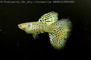 Jual Thailand Guppy Yellow Cobra,  Harga Thailand Guppy Yellow Cobra,  Toko Thailand Guppy Yellow Cobra,  Diskon Thailand Guppy Yellow Cobra,  Beli Thailand Guppy Yellow Cobra,  Review Thailand Guppy Yellow Cobra,  Promo Thailand Guppy Yellow Cobra,  Spesifikasi Thailand Guppy Yellow Cobra,  Thailand Guppy Yellow Cobra Murah,  Thailand Guppy Yellow Cobra Asli,  Thailand Guppy Yellow Cobra Original,  Thailand Guppy Yellow Cobra Jakarta,  Jenis Thailand Guppy Yellow Cobra,  Budidaya Thailand Guppy Yellow Cobra,  Peternak Thailand Guppy Yellow Cobra,  Cara Merawat Thailand Guppy Yellow Cobra,  Tips Merawat Thailand Guppy Yellow Cobra,  Bagaimana cara merawat Thailand Guppy Yellow Cobra,  Bagaimana mengobati Thailand Guppy Yellow Cobra,  Ciri-Ciri Hamil Thailand Guppy Yellow Cobra,  Kandang Thailand Guppy Yellow Cobra,  Ternak Thailand Guppy Yellow Cobra,  Makanan Thailand Guppy Yellow Cobra,  Thailand Guppy Yellow Cobra Termahal,  Adopsi Thailand Guppy Yellow Cobra,  Jual Cepat Thailand Guppy Yellow Cobra,  Thailand Guppy Yellow Cobra  Jakarta,  Thailand Guppy Yellow Cobra  Bandung,  Thailand Guppy Yellow Cobra  Medan,  Thailand Guppy Yellow Cobra  Bali,  Thailand Guppy Yellow Cobra  Makassar,  Thailand Guppy Yellow Cobra  Jambi,  Thailand Guppy Yellow Cobra  Pekanbaru,  Thailand Guppy Yellow Cobra  Palembang,  Thailand Guppy Yellow Cobra  Sumatera,  Thailand Guppy Yellow Cobra  Langsa,  Thailand Guppy Yellow Cobra  Lhokseumawe,  Thailand Guppy Yellow Cobra  Meulaboh,  Thailand Guppy Yellow Cobra  Sabang,  Thailand Guppy Yellow Cobra  Subulussalam,  Thailand Guppy Yellow Cobra  Denpasar,  Thailand Guppy Yellow Cobra  Pangkalpinang,  Thailand Guppy Yellow Cobra  Cilegon,  Thailand Guppy Yellow Cobra  Serang,  Thailand Guppy Yellow Cobra  Tangerang Selatan,  Thailand Guppy Yellow Cobra  Tangerang,  Thailand Guppy Yellow Cobra  Bengkulu,  Thailand Guppy Yellow Cobra  Gorontalo,  Thailand Guppy Yellow Cobra  guppy,  Thailand Guppy Yellow Cobra  tropical fish,  Thailand Guppy Yellow Cobra  aquarium fish,  Thailand Guppy Yellow Cobra  bubble guppies games,  Thailand Guppy Yellow Cobra  guppy fish,  Thailand Guppy Yellow Cobra  bubble guppies videos,  Thailand Guppy Yellow Cobra  bubble guppies episodes,  Thailand Guppy Yellow Cobra  bubble guppies full episodes,  Thailand Guppy Yellow Cobra  super guppy,  Thailand Guppy Yellow Cobra  bubble guppies cast,  Thailand Guppy Yellow Cobra  aquarium online,  Thailand Guppy Yellow Cobra  bubble guppies songs,  Thailand Guppy Yellow Cobra  tetra aquarium,  Thailand Guppy Yellow Cobra  guppies for sale,  Thailand Guppy Yellow Cobra  pregnant guppy,  Thailand Guppy Yellow Cobra  bubble guppies characters,  Thailand Guppy Yellow Cobra  bubble guppy,  Thailand Guppy Yellow Cobra  bubble guppies names,  Thailand Guppy Yellow Cobra  guppies fish,  Thailand Guppy Yellow Cobra  guppy breeding,  Thailand Guppy Yellow Cobra  breeding guppies,  Thailand Guppy Yellow Cobra  bubble guppie,  Thailand Guppy Yellow Cobra  nick jr bubble guppies,  Thailand Guppy Yellow Cobra  bubble guppies coloring pages,  Thailand Guppy Yellow Cobra  bubble guppies video,  Thailand Guppy Yellow Cobra  bubble guppy games,  Thailand Guppy Yellow Cobra  guppy aquarium,  Thailand Guppy Yellow Cobra  guppy care,  Thailand Guppy Yellow Cobra  baby guppies,  Thailand Guppy Yellow Cobra  design aquarium,  Thailand Guppy Yellow Cobra  how to breed guppies,  Thailand Guppy Yellow Cobra  endlers guppy,  Thailand Guppy Yellow Cobra  bubble guppies wiki,  Thailand Guppy Yellow Cobra  bubble guppies game,  Thailand Guppy Yellow Cobra  guppies care,  Thailand Guppy Yellow Cobra  guppy fry,  Thailand Guppy Yellow Cobra  male guppies,  Thailand Guppy Yellow Cobra  buble guppies,  Thailand Guppy Yellow Cobra  guppy fish care,  Thailand Guppy Yellow Cobra  female guppies,  Thailand Guppy Yellow Cobra  female guppy,  Thailand Guppy Yellow Cobra  guppy tank,  Thailand Guppy Yellow Cobra  types of guppies,  Thailand Guppy Yellow Cobra  online aquarium,  Thailand Guppy Yellow Cobra  guppies aquarium,  Thailand Guppy Yellow Cobra  pregnant guppies,  Thailand Guppy Yellow Cobra  guppy giving birth,  Thailand Guppy Yellow Cobra  what do guppies eat,  Thailand Guppy Yellow Cobra  guppy life span,  Thailand Guppy Yellow Cobra  guppy pond,  Thailand Guppy Yellow Cobra  guppy grass,  Thailand Guppy Yellow Cobra  guppies breeding,  Thailand Guppy Yellow Cobra  aquarium guppy,  Thailand Guppy Yellow Cobra  guppies giving birth,  Thailand Guppy Yellow Cobra  bubble guppies pictures,  Thailand Guppy Yellow Cobra  bubble guppies show,  Thailand Guppy Yellow Cobra  male guppy,  Thailand Guppy Yellow Cobra  guppy fish for sale,  Thailand Guppy Yellow Cobra  pregnant guppy fish,  Thailand Guppy Yellow Cobra  endler guppies,  Thailand Guppy Yellow Cobra  guppy babies,  Thailand Guppy Yellow Cobra  the bubble guppies,  Thailand Guppy Yellow Cobra  bubble guppies images,  Thailand Guppy Yellow Cobra  bubble guppies bubble puppy,  Thailand Guppy Yellow Cobra  guppy food,  Thailand Guppy Yellow Cobra  ferplast aquarium,  Thailand Guppy Yellow Cobra  guppy temperature,  Thailand Guppy Yellow Cobra  the binding isaac,  Thailand Guppy Yellow Cobra  guppy tail,  Thailand Guppy Yellow Cobra  the rebirth of isaac,  Thailand Guppy Yellow Cobra  the binding of isaac rebirth guppy,  Thailand Guppy Yellow Cobra  isaac the game,  Thailand Guppy Yellow Cobra  guppie fish,  Thailand Guppy Yellow Cobra  guppy fish breeding,  Thailand Guppy Yellow Cobra  guppy for sale,  Thailand Guppy Yellow Cobra  guppy tank mates,  Thailand Guppy Yellow Cobra  aquarium shop online,  Thailand Guppy Yellow Cobra  guppy gestation,  Thailand Guppy Yellow Cobra  the binding of isaac guppy,  Thailand Guppy Yellow Cobra  keeping guppies,  Thailand Guppy Yellow Cobra  guppy definition,  Thailand Guppy Yellow Cobra  guppy meaning,  Thailand Guppy Yellow Cobra  guppy breathing,  Thailand Guppy Yellow Cobra  fish tropical,  Thailand Guppy Yellow Cobra  endlers guppies,  Thailand Guppy Yellow Cobra  baby guppy,  Thailand Guppy Yellow Cobra  nickelodeon bubble guppies,  Thailand Guppy Yellow Cobra  guppy fish tank,  Thailand Guppy Yellow Cobra  guppy types,  Thailand Guppy Yellow Cobra  guppy fish types,  Thailand Guppy Yellow Cobra  guppy diseases,  Thailand Guppy Yellow Cobra  the binding of isaac 2,  Thailand Guppy Yellow Cobra  isaac the binding,  Thailand Guppy Yellow Cobra  wild guppies,  Thailand Guppy Yellow Cobra  wild guppy,  Thailand Guppy Yellow Cobra  fantail guppies,  Thailand Guppy Yellow Cobra  guppy pregnancy,  Thailand Guppy Yellow Cobra  lyretail guppy,  Thailand Guppy Yellow Cobra  pregnant guppy stages,  Thailand Guppy Yellow Cobra  guppy pregnant,  Thailand Guppy Yellow Cobra  male and female guppies,  Thailand Guppy Yellow Cobra  bubble guppys,  Thailand Guppy Yellow Cobra  guppy birth,  Thailand Guppy Yellow Cobra  do guppies need a heater,  Thailand Guppy Yellow Cobra  pictures of guppies,  Thailand Guppy Yellow Cobra  guppy fish life span,  Thailand Guppy Yellow Cobra  guppy water temperature,  Thailand Guppy Yellow Cobra  show guppies,  Thailand Guppy Yellow Cobra  black guppy,  Thailand Guppy Yellow Cobra  red guppy,  Thailand Guppy Yellow Cobra  binding isaac wiki,  Thailand Guppy Yellow Cobra  binding of isaac 2,  Thailand Guppy Yellow Cobra  moscow guppy,  Thailand Guppy Yellow Cobra  guppy forum,  Thailand Guppy Yellow Cobra  guppies online,  Thailand Guppy Yellow Cobra  fantail guppy,  Thailand Guppy Yellow Cobra  yellow guppy,  Thailand Guppy Yellow Cobra  snakeskin guppy,  Thailand Guppy Yellow Cobra  guppy fry growth chart,  Thailand Guppy Yellow Cobra  guppy fish food,  Thailand Guppy Yellow Cobra  temperature for guppies,  Thailand Guppy Yellow Cobra  water temperature for guppies,  Thailand Guppy Yellow Cobra  guppy games,  Thailand Guppy Yellow Cobra  black moscow guppy,  Thailand Guppy Yellow Cobra  full red guppy,  Thailand Guppy Yellow Cobra  blue moscow guppy,  Thailand Guppy Yellow Cobra  game isaac,  Thailand Guppy Yellow Cobra  male guppy fish,  Thailand Guppy Yellow Cobra  guppy varieties,  Thailand Guppy Yellow Cobra  albino guppy,  Thailand Guppy Yellow Cobra  guppy pregnancy stages,  Thailand Guppy Yellow Cobra  tequila sunrise guppy,  Thailand Guppy Yellow Cobra  guppy fin rot,  Thailand Guppy Yellow Cobra  guppy genetics,  Thailand Guppy Yellow Cobra  pink guppy,  Thailand Guppy Yellow Cobra  the guppy,  Thailand Guppy Yellow Cobra  highland guppy,  Thailand Guppy Yellow Cobra  guppy breeding tank,  Thailand Guppy Yellow Cobra  guppy breeds,  Thailand Guppy Yellow Cobra  show guppies for sale,  Thailand Guppy Yellow Cobra  guppies for sale uk,  Thailand Guppy Yellow Cobra  is my guppy pregnant,  Thailand Guppy Yellow Cobra  guppies having babies,  Thailand Guppy Yellow Cobra  guppy female,  Thailand Guppy Yellow Cobra  guppy fry care,  Thailand Guppy Yellow Cobra  do guppies need a filter,  Thailand Guppy Yellow Cobra  do guppies eat their babies,  Thailand Guppy Yellow Cobra  do guppies sleep,  Thailand Guppy Yellow Cobra  aquarium 40 liter,  Thailand Guppy Yellow Cobra  guppy game,  Thailand Guppy Yellow Cobra  neon guppies,  Thailand Guppy Yellow Cobra  neon guppy,  Thailand Guppy Yellow Cobra  guppy neon,  Thailand Guppy Yellow Cobra  isaac of binding,  Thailand Guppy Yellow Cobra  moscow blue guppy,  Thailand Guppy Yellow Cobra  guppy tail rot,  Thailand Guppy Yellow Cobra  isaac the rebirth,  Thailand Guppy Yellow Cobra  fish guppies,  Thailand Guppy Yellow Cobra  guppies dying,  Thailand Guppy Yellow Cobra  guppy species,  Thailand Guppy Yellow Cobra  guppy gravid spot,  Thailand Guppy Yellow Cobra  the of isaac,  Thailand Guppy Yellow Cobra  breeding guppies for beginners,  Thailand Guppy Yellow Cobra  guppy breeding cycle,  Thailand Guppy Yellow Cobra  female guppies for sale,  Thailand Guppy Yellow Cobra  guppies pregnant,  Thailand Guppy Yellow Cobra  pregnant female guppy,  Thailand Guppy Yellow Cobra  caring for guppies,  Thailand Guppy Yellow Cobra  guppies babies,  Thailand Guppy Yellow Cobra  guppy fry growth,  Thailand Guppy Yellow Cobra  guppy tank setup,  Thailand Guppy Yellow Cobra  guppy fish giving birth,  Thailand Guppy Yellow Cobra  guppy fry food,  Thailand Guppy Yellow Cobra  different types of guppies,  Thailand Guppy Yellow Cobra  types of guppy,  Thailand Guppy Yellow Cobra  guppy pictures,  Thailand Guppy Yellow Cobra  aquarium voor beginners,  Thailand Guppy Yellow Cobra  guppy life cycle,  Thailand Guppy Yellow Cobra  guppies temperature,  Thailand Guppy Yellow Cobra  guppy gestation period,  Thailand Guppy Yellow Cobra  the binding of the isaac,  Thailand Guppy Yellow Cobra  feeding guppies,  Thailand Guppy Yellow Cobra  guppi fish,  Thailand Guppy Yellow Cobra  guppy fish facts,  Thailand Guppy Yellow Cobra  guppy breeders,  Thailand Guppy Yellow Cobra  guppy wiki,  Thailand Guppy Yellow Cobra  freshwater guppies,  Thailand Guppy Yellow Cobra  rare guppies,  Thailand Guppy Yellow Cobra  raising guppies,  Thailand Guppy Yellow Cobra  guppy colors,  Thailand Guppy Yellow Cobra  guppy strains,  Thailand Guppy Yellow Cobra  guppy size,  Thailand Guppy Yellow Cobra  turquoise guppy,  Thailand Guppy Yellow Cobra  leopard guppy,  Thailand Guppy Yellow Cobra  guppy love,  Thailand Guppy Yellow Cobra  guppy images,  Thailand Guppy Yellow Cobra  guppy plant,  Thailand Guppy Yellow Cobra  water temp for guppies,  Thailand Guppy Yellow Cobra  guppy breeding setup,  Thailand Guppy Yellow Cobra  guppies for sale online,  Thailand Guppy Yellow Cobra  guppys aquarium,  Thailand Guppy Yellow Cobra  guppy fish pregnant,  Thailand Guppy Yellow Cobra  guppy care sheet,  Thailand Guppy Yellow Cobra  endler guppy hybrid,  Thailand Guppy Yellow Cobra  baby guppy fish,  Thailand Guppy Yellow Cobra  female guppy fish,  Thailand Guppy Yellow Cobra  bubble guppies nickelodeon,  Thailand Guppy Yellow Cobra  guppy tanks,  Thailand Guppy Yellow Cobra  guppies food,  Thailand Guppy Yellow Cobra  best food for guppies,  Thailand Guppy Yellow Cobra  tropical guppies,  Thailand Guppy Yellow Cobra  black guppy fish,  Thailand Guppy Yellow Cobra  black moscow guppies,  Thailand Guppy Yellow Cobra  gestation period for guppies,  Thailand Guppy Yellow Cobra  blue neon guppy,  Thailand Guppy Yellow Cobra  red mosaic guppy,  Thailand Guppy Yellow Cobra  betta and guppies,  Thailand Guppy Yellow Cobra  guppy fishes,  Thailand Guppy Yellow Cobra  fish compatible with guppies,  Thailand Guppy Yellow Cobra  what is a guppy fish,  Thailand Guppy Yellow Cobra  guppy s,  Thailand Guppy Yellow Cobra  guppy guppy,  Thailand Guppy Yellow Cobra  guppy facts,  Thailand Guppy Yellow Cobra  guppy behavior,  Thailand Guppy Yellow Cobra  green guppy,  Thailand Guppy Yellow Cobra  white guppy,  Thailand Guppy Yellow Cobra  guppy dropsy,  Thailand Guppy Yellow Cobra  purple guppy,  Thailand Guppy Yellow Cobra  bloated guppy,  Thailand Guppy Yellow Cobra  angelfish and guppies,  Thailand Guppy Yellow Cobra  fin rot guppy,  Thailand Guppy Yellow Cobra  guppies keep dying,  Thailand Guppy Yellow Cobra  mollies and guppies,  Thailand Guppy Yellow Cobra  stages of guppy pregnancy,  Thailand Guppy Yellow Cobra  south african guppies,  Thailand Guppy Yellow Cobra  mosaic guppy,  Thailand Guppy Yellow Cobra  guppy cartoon,  Thailand Guppy Yellow Cobra  breeding guppy,  Thailand Guppy Yellow Cobra  aquarium guppies,  Thailand Guppy Yellow Cobra  pregnant guppie,  Thailand Guppy Yellow Cobra  female guppy pregnant,  Thailand Guppy Yellow Cobra  guppy tank size,  Thailand Guppy Yellow Cobra  guppies tank mates,  Thailand Guppy Yellow Cobra  do guppies give live birth,  Thailand Guppy Yellow Cobra  buy guppies,  Thailand Guppy Yellow Cobra  food for guppies,  Thailand Guppy Yellow Cobra  types of guppy fish,  Thailand Guppy Yellow Cobra  guppy disease,  Thailand Guppy Yellow Cobra  tropical fish guppies,  Thailand Guppy Yellow Cobra  black guppies,  Thailand Guppy Yellow Cobra  guppy black,  Thailand Guppy Yellow Cobra  red guppies,  Thailand Guppy Yellow Cobra  red guppy fish,  Thailand Guppy Yellow Cobra  moscow guppies,  Thailand Guppy Yellow Cobra  guppies and bettas,  Thailand Guppy Yellow Cobra  guppy fish information,  Thailand Guppy Yellow Cobra  guppy fish images,  Thailand Guppy Yellow Cobra  all about guppies,  Thailand Guppy Yellow Cobra  guppy breeder,  Thailand Guppy Yellow Cobra  guppys online,  Thailand Guppy Yellow Cobra  guppy poecilia reticulata,  Thailand Guppy Yellow Cobra  guppy a,  Thailand Guppy Yellow Cobra  purple guppies,  Thailand Guppy Yellow Cobra  beautiful guppies,  Thailand Guppy Yellow Cobra  guppy pdf,  Thailand Guppy Yellow Cobra  guppy swimming vertically,  Thailand Guppy Yellow Cobra  guppy names,  Thailand Guppy Yellow Cobra  yellow guppies,  Thailand Guppy Yellow Cobra  male guppies fighting,  Thailand Guppy Yellow Cobra  guppies and tetras,  Thailand Guppy Yellow Cobra  saltwater guppies,  Thailand Guppy Yellow Cobra  guppies and mollies,  Thailand Guppy Yellow Cobra  the guppies,  Thailand Guppy Yellow Cobra  breeding guppies in community tank,  Thailand Guppy Yellow Cobra  breed guppies,  Thailand Guppy Yellow Cobra  live guppies for sale,  Thailand Guppy Yellow Cobra  guppies fish for sale,  Thailand Guppy Yellow Cobra  breeding guppies for profit,  Thailand Guppy Yellow Cobra  guppies aquarium products,  Thailand Guppy Yellow Cobra  taking care of guppies,  Thailand Guppy Yellow Cobra  guppies fish care,  Thailand Guppy Yellow Cobra  john endler guppies,  Thailand Guppy Yellow Cobra  guppy fish babies,  Thailand Guppy Yellow Cobra  male and female guppy,  Thailand Guppy Yellow Cobra  guppy fry development,  Thailand Guppy Yellow Cobra  guppy fry stages,  Thailand Guppy Yellow Cobra  guppies fish tank,  Thailand Guppy Yellow Cobra  guppies tank,  Thailand Guppy Yellow Cobra  guppy fry tank,  Thailand Guppy Yellow Cobra  female guppy giving birth,  Thailand Guppy Yellow Cobra  pregnant guppy giving birth,  Thailand Guppy Yellow Cobra  guppies birth,  Thailand Guppy Yellow Cobra  guppy give birth,  Thailand Guppy Yellow Cobra  guppies types,  Thailand Guppy Yellow Cobra  how much do guppies cost,  Thailand Guppy Yellow Cobra  do guppies eat algae,  Thailand Guppy Yellow Cobra  guppy diseases pictures,  Thailand Guppy Yellow Cobra  pregnant guppy pictures,  Thailand Guppy Yellow Cobra  pictures of guppy fish,  Thailand Guppy Yellow Cobra  guppy fish diseases,  Thailand Guppy Yellow Cobra  show guppy,  Thailand Guppy Yellow Cobra  guppy tropical fish,  Thailand Guppy Yellow Cobra  guppies tropical fish,  Thailand Guppy Yellow Cobra  half black guppy,  Thailand Guppy Yellow Cobra  neon blue guppy,  Thailand Guppy Yellow Cobra  guppies and neon tetras,  Thailand Guppy Yellow Cobra  binding of the isaac,  Thailand Guppy Yellow Cobra  moscow blue guppies,  Thailand Guppy Yellow Cobra  of isaac game,  Thailand Guppy Yellow Cobra  feeding guppy fry,  Thailand Guppy Yellow Cobra  game the binding of isaac,  Thailand Guppy Yellow Cobra  the binding of isaac the game,  Thailand Guppy Yellow Cobra  blue guppy fish,  Thailand Guppy Yellow Cobra  fish that can live with guppies,  Thailand Guppy Yellow Cobra  images of guppy fish,  Thailand Guppy Yellow Cobra  guppy online,  Thailand Guppy Yellow Cobra  albino guppies,  Thailand Guppy Yellow Cobra  pics of guppies,  Thailand Guppy Yellow Cobra  my guppies keep dying,  Thailand Guppy Yellow Cobra  guppy colours,  Thailand Guppy Yellow Cobra  guppy growth chart,  Thailand Guppy Yellow Cobra  golden guppy,  Thailand Guppy Yellow Cobra  colorful guppies,  Thailand Guppy Yellow Cobra  columnaris guppy,  Thailand Guppy Yellow Cobra  guppy diet,  Thailand Guppy Yellow Cobra  dragon guppy,  Thailand Guppy Yellow Cobra  atfg guppy,  Thailand Guppy Yellow Cobra  blue diamond guppy,  Thailand Guppy Yellow Cobra  gold guppy,  Thailand Guppy Yellow Cobra  guppy scientific name,  Thailand Guppy Yellow Cobra  guppies fighting,  Thailand Guppy Yellow Cobra  pingu guppy,  Thailand Guppy Yellow Cobra  trinidadian guppies,  Thailand Guppy Yellow Cobra  dropsy guppy,  Thailand Guppy Yellow Cobra  fat guppy,  Thailand Guppy Yellow Cobra  guppy guppies,  Thailand Guppy Yellow Cobra  guppy singapore,  Thailand Guppy Yellow Cobra  sunset guppy,  Thailand Guppy Yellow Cobra  guppy natural habitat,  Thailand Guppy Yellow Cobra  guppies breeding cycle,  Thailand Guppy Yellow Cobra  breeding tank for guppies,  Thailand Guppy Yellow Cobra  guppy breeding guide,  Thailand Guppy Yellow Cobra  guppies fish breeding,  Thailand Guppy Yellow Cobra  guppy breeding trap,  Thailand Guppy Yellow Cobra  guppy breeding tank setup,  Thailand Guppy Yellow Cobra  guppy sale,  Thailand Guppy Yellow Cobra  rare guppies for sale,  Thailand Guppy Yellow Cobra  endler guppies for sale,  Thailand Guppy Yellow Cobra  aquarium de guppy,  Thailand Guppy Yellow Cobra  pregnant guppy behavior,  Thailand Guppy Yellow Cobra  guppie care,  Thailand Guppy Yellow Cobra  guppy care guide,  Thailand Guppy Yellow Cobra  baby guppy care,  Thailand Guppy Yellow Cobra  guppy having babies,  Thailand Guppy Yellow Cobra  guppies male or female,  Thailand Guppy Yellow Cobra  guppies female,  Thailand Guppy Yellow Cobra  guppy fish female,  Thailand Guppy Yellow Cobra  guppies fry,  Thailand Guppy Yellow Cobra  raising guppy fry,  Thailand Guppy Yellow Cobra  guppy birth signs,  Thailand Guppy Yellow Cobra  guppies live birth,  Thailand Guppy Yellow Cobra  guppy fish pictures,  Thailand Guppy Yellow Cobra  guppies pictures,  Thailand Guppy Yellow Cobra  female guppy pictures,  Thailand Guppy Yellow Cobra  life cycle of a guppy,  Thailand Guppy Yellow Cobra  guppies water temperature,  Thailand Guppy Yellow Cobra  tropical fish guppy,  Thailand Guppy Yellow Cobra  tropical guppy,  Thailand Guppy Yellow Cobra  moscow black guppy,  Thailand Guppy Yellow Cobra  neon tetras and guppies,  Thailand Guppy Yellow Cobra  guppy tails,  Thailand Guppy Yellow Cobra  guppy feeding,  Thailand Guppy Yellow Cobra  bettas and guppies,  Thailand Guppy Yellow Cobra  guppies and betta,  Thailand Guppy Yellow Cobra  can guppies live with bettas,  Thailand Guppy Yellow Cobra  guppy fish price,  Thailand Guppy Yellow Cobra  guppy fish varieties,  Thailand Guppy Yellow Cobra  wild guppy fish,  Thailand Guppy Yellow Cobra  guppys fish,  Thailand Guppy Yellow Cobra  guppies information,  Thailand Guppy Yellow Cobra  free guppies,  Thailand Guppy Yellow Cobra  blue glass guppy,  Thailand Guppy Yellow Cobra  guppy d,  Thailand Guppy Yellow Cobra  pink guppies,  Thailand Guppy Yellow Cobra  guppy behaviour,  Thailand Guppy Yellow Cobra  common guppy,  Thailand Guppy Yellow Cobra  ribbon guppy,  Thailand Guppy Yellow Cobra  kinds of guppies,  Thailand Guppy Yellow Cobra  gonopodium guppy,  Thailand Guppy Yellow Cobra  rare guppy,  Thailand Guppy Yellow Cobra  guppy compatibility,  Thailand Guppy Yellow Cobra  pretty guppies,  Thailand Guppy Yellow Cobra  snakeskin guppies,  Thailand Guppy Yellow Cobra  guppy anatomy,  Thailand Guppy Yellow Cobra  green guppies,  Thailand Guppy Yellow Cobra  guppies in the wild,  Thailand Guppy Yellow Cobra  guppy growth,  Thailand Guppy Yellow Cobra  guppy water temp,  Thailand Guppy Yellow Cobra  guppy swim bladder,  Thailand Guppy Yellow Cobra  german yellow guppy,  Thailand Guppy Yellow Cobra  guppy videos,  Thailand Guppy Yellow Cobra  cartoon guppy,  Thailand Guppy Yellow Cobra  guppy not eating,  Thailand Guppy Yellow Cobra  exotic guppy,  Thailand Guppy Yellow Cobra  breeding guppys,  Thailand Guppy Yellow Cobra  breeding guppy fish,  Thailand Guppy Yellow Cobra  guppies for sale cheap,  Thailand Guppy Yellow Cobra  guppy breed,  Thailand Guppy Yellow Cobra  cheap guppies for sale,  Thailand Guppy Yellow Cobra  wild guppies for sale,  Thailand Guppy Yellow Cobra  guppys for sale,  Thailand Guppy Yellow Cobra  baby guppies for sale,  Thailand Guppy Yellow Cobra  guppy fry for sale,  Thailand Guppy Yellow Cobra  guppy fish aquarium,  Thailand Guppy Yellow Cobra  aquarium fish guppy,  Thailand Guppy Yellow Cobra  care for guppies,  Thailand Guppy Yellow Cobra  bubble guppies nick,  Thailand Guppy Yellow Cobra  nick bubble guppies,  Thailand Guppy Yellow Cobra  guppie fry,  Thailand Guppy Yellow Cobra  caring for guppy fry,  Thailand Guppy Yellow Cobra  guppy fish tanks,  Thailand Guppy Yellow Cobra  female guppies giving birth,  Thailand Guppy Yellow Cobra  where to buy guppies,  Thailand Guppy Yellow Cobra  fish food for guppies,  Thailand Guppy Yellow Cobra  pictures of pregnant guppies,  Thailand Guppy Yellow Cobra  albino red guppy,  Thailand Guppy Yellow Cobra  moscow green guppy,  Thailand Guppy Yellow Cobra  purple moscow guppies,  Thailand Guppy Yellow Cobra  isaac of rebirth,  Thailand Guppy Yellow Cobra  feeding baby guppies,  Thailand Guppy Yellow Cobra  guppy photo,  Thailand Guppy Yellow Cobra  game binding of isaac,  Thailand Guppy Yellow Cobra  a guppy fish,  Thailand Guppy Yellow Cobra  compatible fish with guppies,  Thailand Guppy Yellow Cobra  live guppies,  Thailand Guppy Yellow Cobra  poecilia reticulata guppy,  Thailand Guppy Yellow Cobra  exotic guppies,  Thailand Guppy Yellow Cobra  guppy price,  Thailand Guppy Yellow Cobra  guppy video,  Thailand Guppy Yellow Cobra  guppy wallpaper,  Thailand Guppy Yellow Cobra  white guppies,  Thailand Guppy Yellow Cobra  lyretail guppies,  Thailand Guppy Yellow Cobra  small guppies,  Thailand Guppy Yellow Cobra  guppy mouth,  Thailand Guppy Yellow Cobra  blonde guppy,  Thailand Guppy Yellow Cobra  peacock guppy,  Thailand Guppy Yellow Cobra  looking after guppies,  Thailand Guppy Yellow Cobra  guppy bent spine,  Thailand Guppy Yellow Cobra  plants for guppies,  Thailand Guppy Yellow Cobra  guppy predators,  Thailand Guppy Yellow Cobra  beautiful guppy,  Thailand Guppy Yellow Cobra  guppy eyes,  Thailand Guppy Yellow Cobra  guppy gonopodium,  Thailand Guppy Yellow Cobra  singapore guppy,  Thailand Guppy Yellow Cobra  dropsy in guppies,  Thailand Guppy Yellow Cobra  guppy fungus,  Thailand Guppy Yellow Cobra  gubbi fish,  Thailand Guppy Yellow Cobra  selective breeding guppies,  Thailand Guppy Yellow Cobra  breeding mollies and guppies,  Thailand Guppy Yellow Cobra  breeds of guppies,  Thailand Guppy Yellow Cobra  guppies sale,  Thailand Guppy Yellow Cobra  guppy breeding net,  Thailand Guppy Yellow Cobra  rare guppy breeds,  Thailand Guppy Yellow Cobra  guppie breeding,  Thailand Guppy Yellow Cobra  albino guppies for sale,  Thailand Guppy Yellow Cobra  blue guppies for sale,  Thailand Guppy Yellow Cobra  pregnant guppies for sale,  Thailand Guppy Yellow Cobra  guppy aquariums,  Thailand Guppy Yellow Cobra  aquarium a guppy,  Thailand Guppy Yellow Cobra  care of guppies,  Thailand Guppy Yellow Cobra  baby guppies care,  Thailand Guppy Yellow Cobra  guppy baby fish,  Thailand Guppy Yellow Cobra  guppy male female,  Thailand Guppy Yellow Cobra  male female guppies,  Thailand Guppy Yellow Cobra  bubble guppies on nick jr,  Thailand Guppy Yellow Cobra  guppy breeder tank,  Thailand Guppy Yellow Cobra  buy guppy fish,  Thailand Guppy Yellow Cobra  baby guppy food,  Thailand Guppy Yellow Cobra  type of guppies,  Thailand Guppy Yellow Cobra  do guppies need air pump,  Thailand Guppy Yellow Cobra  pictures of guppies fish,  Thailand Guppy Yellow Cobra  picture of guppies,  Thailand Guppy Yellow Cobra  female guppies pictures,  Thailand Guppy Yellow Cobra  guppy picture,  Thailand Guppy Yellow Cobra  guppies life span,  Thailand Guppy Yellow Cobra  life span of guppies,  Thailand Guppy Yellow Cobra  guppy life expectancy,  Thailand Guppy Yellow Cobra  show quality guppies,  Thailand Guppy Yellow Cobra  breeding show guppies,  Thailand Guppy Yellow Cobra  tropical guppy fish,  Thailand Guppy Yellow Cobra  guppy fish game,  Thailand Guppy Yellow Cobra  guppies gestation period,  Thailand Guppy Yellow Cobra  guppies gestation,  Thailand Guppy Yellow Cobra  fan tail guppies,  Thailand Guppy Yellow Cobra  fan tailed guppies,  Thailand Guppy Yellow Cobra  dragon tail guppy,  Thailand Guppy Yellow Cobra  the rebirth of isaac game,  Thailand Guppy Yellow Cobra  the isaac game,  Thailand Guppy Yellow Cobra  guppies feeding,  Thailand Guppy Yellow Cobra  guppy photos,  Thailand Guppy Yellow Cobra  about guppy fish,  Thailand Guppy Yellow Cobra  yellow guppy fish,  Thailand Guppy Yellow Cobra  guppy fish bowl,  Thailand Guppy Yellow Cobra  selling guppies,  Thailand Guppy Yellow Cobra  guppy pics,  Thailand Guppy Yellow Cobra  about guppies,  Thailand Guppy Yellow Cobra  ifga guppies,  Thailand Guppy Yellow Cobra  taiwan guppy,  Thailand Guppy Yellow Cobra  guppies price,  Thailand Guppy Yellow Cobra  different kinds of guppies,  Thailand Guppy Yellow Cobra  guppy blog,  Thailand Guppy Yellow Cobra  guppy plants,  Thailand Guppy Yellow Cobra  guppy green,  Thailand Guppy Yellow Cobra  tankmates for guppies,  Thailand Guppy Yellow Cobra  freshwater guppy,  Thailand Guppy Yellow Cobra  tequila sunrise guppies,  Thailand Guppy Yellow Cobra  endless guppy,  Thailand Guppy Yellow Cobra  platies and guppies,  Thailand Guppy Yellow Cobra  guppy parasites,  Thailand Guppy Yellow Cobra  guppy pet,  Thailand Guppy Yellow Cobra  guppy illness,  Thailand Guppy Yellow Cobra  pet guppies,  Thailand Guppy Yellow Cobra  guppy white,  Thailand Guppy Yellow Cobra  guppies species,  Thailand Guppy Yellow Cobra  hybrid guppies,  Thailand Guppy Yellow Cobra  breeding tanks for guppies,  Thailand Guppy Yellow Cobra  guppy breeding tanks,  Thailand Guppy Yellow Cobra  guppy care and breeding,  Thailand Guppy Yellow Cobra  breeding guppies for feeders,  Thailand Guppy Yellow Cobra  guppy fish sale,  Thailand Guppy Yellow Cobra  breeding guppies for sale,  Thailand Guppy Yellow Cobra  guppy aquarium fish,  Thailand Guppy Yellow Cobra  aquarium guppy fish,  Thailand Guppy Yellow Cobra  guppies aquariums,  Thailand Guppy Yellow Cobra  pregnant guppys,  Thailand Guppy Yellow Cobra  pregnant female guppies,  Thailand Guppy Yellow Cobra  raising baby guppies,  Thailand Guppy Yellow Cobra  guppy fry color,  Thailand Guppy Yellow Cobra  guppy fry size,  Thailand Guppy Yellow Cobra  guppy birthing process,  Thailand Guppy Yellow Cobra  buying guppies,  Thailand Guppy Yellow Cobra  buy guppy fish online,  Thailand Guppy Yellow Cobra  buy guppy,  Thailand Guppy Yellow Cobra  homemade guppy food,  Thailand Guppy Yellow Cobra  pictures of female guppies,  Thailand Guppy Yellow Cobra  pictures of baby guppies,  Thailand Guppy Yellow Cobra  guppies diseases,  Thailand Guppy Yellow Cobra  guppy diseases symptoms,  Thailand Guppy Yellow Cobra  life cycle of guppies,  Thailand Guppy Yellow Cobra  guppy shows,  Thailand Guppy Yellow Cobra  show guppy breeders,  Thailand Guppy Yellow Cobra  is a guppy a tropical fish,  Thailand Guppy Yellow Cobra  binding the isaac,  Thailand Guppy Yellow Cobra  the of isaac game,  Thailand Guppy Yellow Cobra  the game isaac,  Thailand Guppy Yellow Cobra  guppy fish photos,  Thailand Guppy Yellow Cobra  photos of guppies,  Thailand Guppy Yellow Cobra  binding isaac game,  Thailand Guppy Yellow Cobra  binding game,  Thailand Guppy Yellow Cobra  guppies fishing report,  Thailand Guppy Yellow Cobra  all about guppy fish,  Thailand Guppy Yellow Cobra  the guppy fish,  Thailand Guppy Yellow Cobra  how much are guppy fish,  Thailand Guppy Yellow Cobra  is a guppy a fish,  Thailand Guppy Yellow Cobra  guppy fish wiki,  Thailand Guppy Yellow Cobra  guppies fish bowl,  Thailand Guppy Yellow Cobra  cheap guppies,  Thailand Guppy Yellow Cobra  fresh water guppies,  Thailand Guppy Yellow Cobra  how to sell guppies,  Thailand Guppy Yellow Cobra  pond guppies,  Thailand Guppy Yellow Cobra  information about guppies,  Thailand Guppy Yellow Cobra  guppy illnesses,  Thailand Guppy Yellow Cobra  guppy hatchery,  Thailand Guppy Yellow Cobra  guppy store,  Thailand Guppy Yellow Cobra  guppies fin rot,  Thailand Guppy Yellow Cobra  common guppies,  Thailand Guppy Yellow Cobra  guppy prices,  Thailand Guppy Yellow Cobra  guppy mouth fungus,  Thailand Guppy Yellow Cobra  singapore guppies,  Thailand Guppy Yellow Cobra  guppy book,  Thailand Guppy Yellow Cobra  large guppy,  Thailand Guppy Yellow Cobra  breading guppies,  Thailand Guppy Yellow Cobra  malaysia guppy,  Thailand Guppy Yellow Cobra  aggressive guppies,  Thailand Guppy Yellow Cobra  guppies diet,  Thailand Guppy Yellow Cobra  my guppy,  Thailand Guppy Yellow Cobra  robert john lechmere guppy,  Thailand Guppy Yellow Cobra  guppy breading,  Thailand Guppy Yellow Cobra  guppy forums,  Thailand Guppy Yellow Cobra  guppies pics,  Thailand Guppy Yellow Cobra  guppy fin rot treatment,  Thailand Guppy Yellow Cobra  the re-birth,  Thailand Guppy Yellow Cobra  the binding rebirth,  Thailand Guppy Yellow Cobra  guppies aquarium supplies,  Thailand Guppy Yellow Cobra  aquarium mit guppys,  Thailand Guppy Yellow Cobra  guppys im aquarium,  Thailand Guppy Yellow Cobra  fry guppy,  Thailand Guppy Yellow Cobra  where can i buy guppies,  Thailand Guppy Yellow Cobra  breeding guppies for food,  Thailand Guppy Yellow Cobra  guppy fish picture,  Thailand Guppy Yellow Cobra  binding of isaac original,  Thailand Guppy Yellow Cobra  the isaac of binding,  Thailand Guppy Yellow Cobra  rebirth of isaac game,  Thailand Guppy Yellow Cobra  game of isaac,  Thailand Guppy Yellow Cobra  guppies photos,  Thailand Guppy Yellow Cobra  guppy fish breeders,  Thailand Guppy Yellow Cobra  what is guppy fish,  Thailand Guppy Yellow Cobra  guppy water conditions,  Thailand Guppy Yellow Cobra  german guppies,  Thailand Guppy Yellow Cobra  laser beam guppy,  Thailand Guppy Yellow Cobra  the binding of rebirth,  Thailand Guppy Yellow Cobra  the binding of isaac a,  Thailand Guppy Yellow Cobra  guppy rebirth,