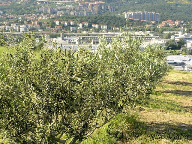 l'uliveto di Gioacchino Fiorosso a Trieste