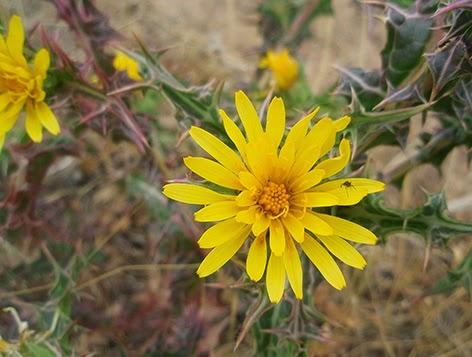 Cardo de olla (Scolymus hispanicus) flor amarilla