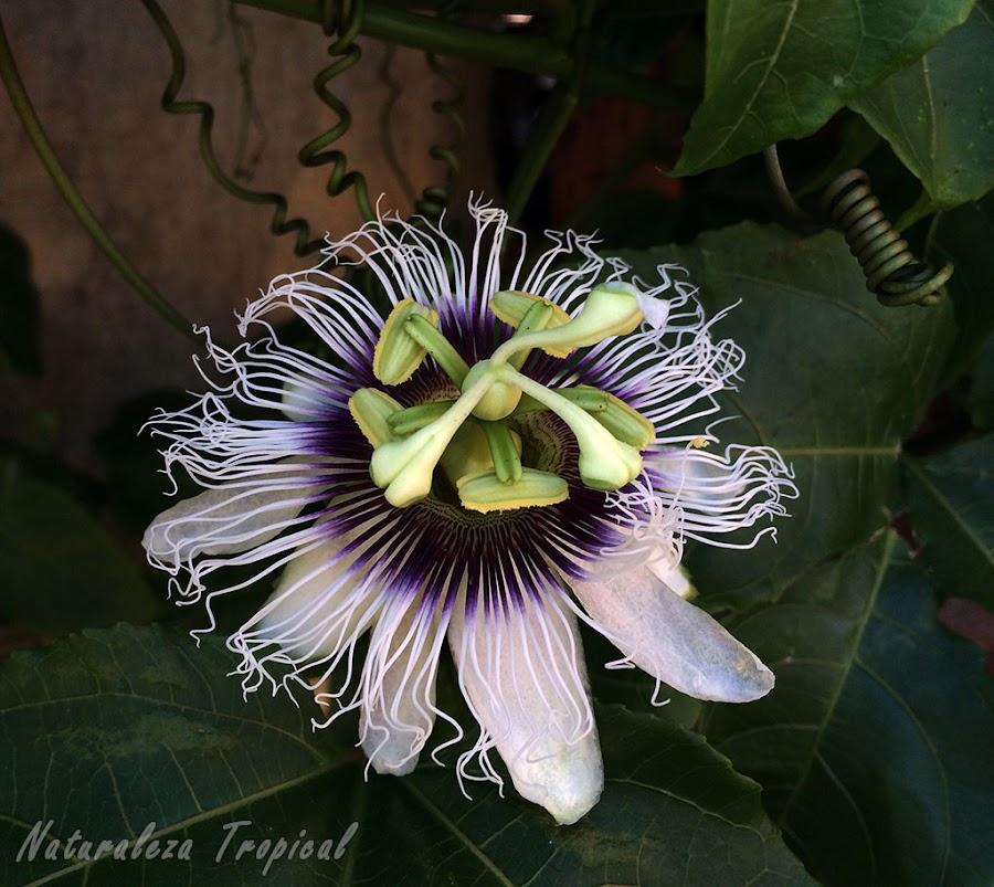 La flor característica de la Pasionaria o Maracuyá, Passiflora edulis