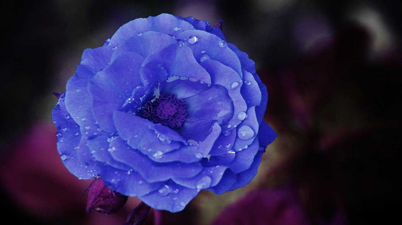 Natural Blue Rose Images Blue Rose Flower Images Free Download