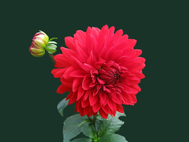 Red Dahlia Flower Little  Creative Blossoms HD Wallpaper