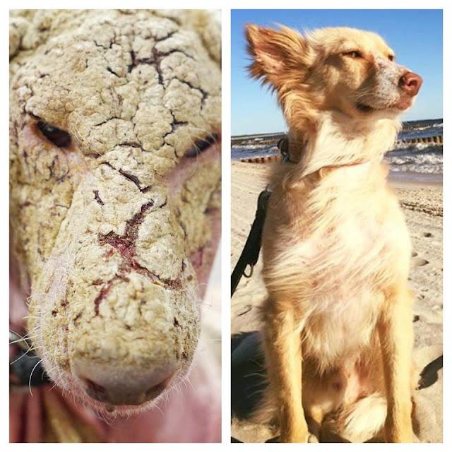 El sorprendente antes y después de un perro abandonado
