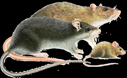 Différence rat souris