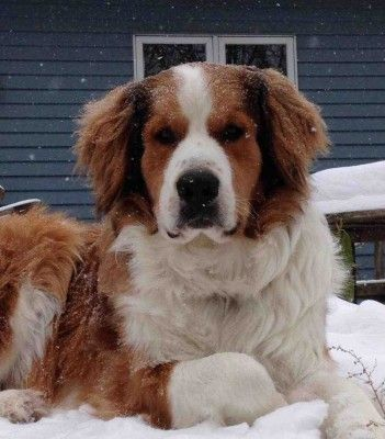 Providence Mountain Great Bernese