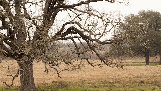 gnarled trees in Texas