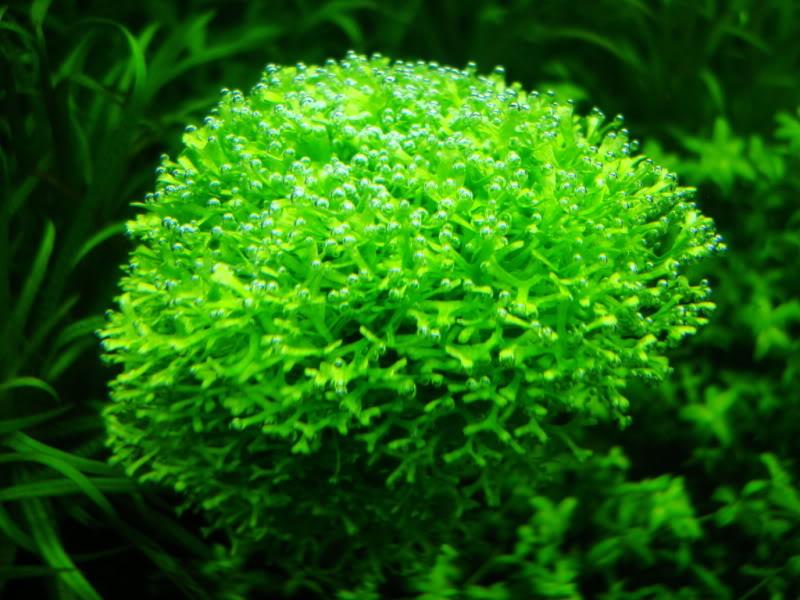 Rêu Ricca có thể được dùng để trải nền trong bể thủy sinh