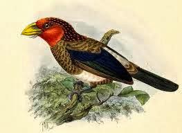 Barbudo pecho pardo Pogonornis melanopterus