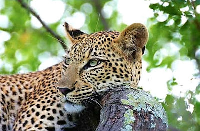 Leopard's pillow..