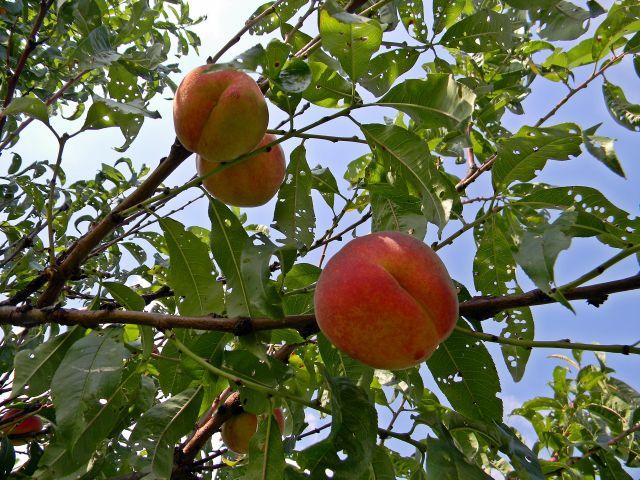 uprawa, sad, owoce, drzewo owocowe