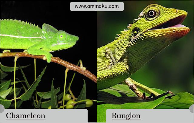 Perbedaan antara bunglon dan chameleon