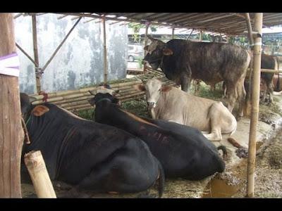 Peternak Sapi di Indonesia umumnya Masih Tradisional