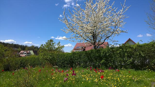 Tulpenwiese vor blühendem Kirschbaum (c) by Joachim Wenk