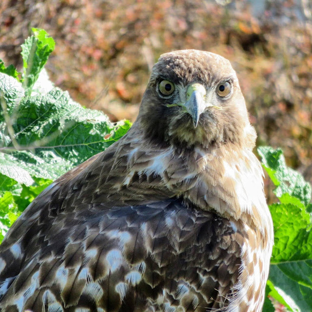 Hawk on the San Francisco Bay in Mountain View, California