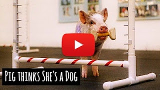 Watch this cute pig named Amy who thinks she's a dog and apparently has graduated top in her dog classes via geniushowto.blogspot.com cute pig and dog videos