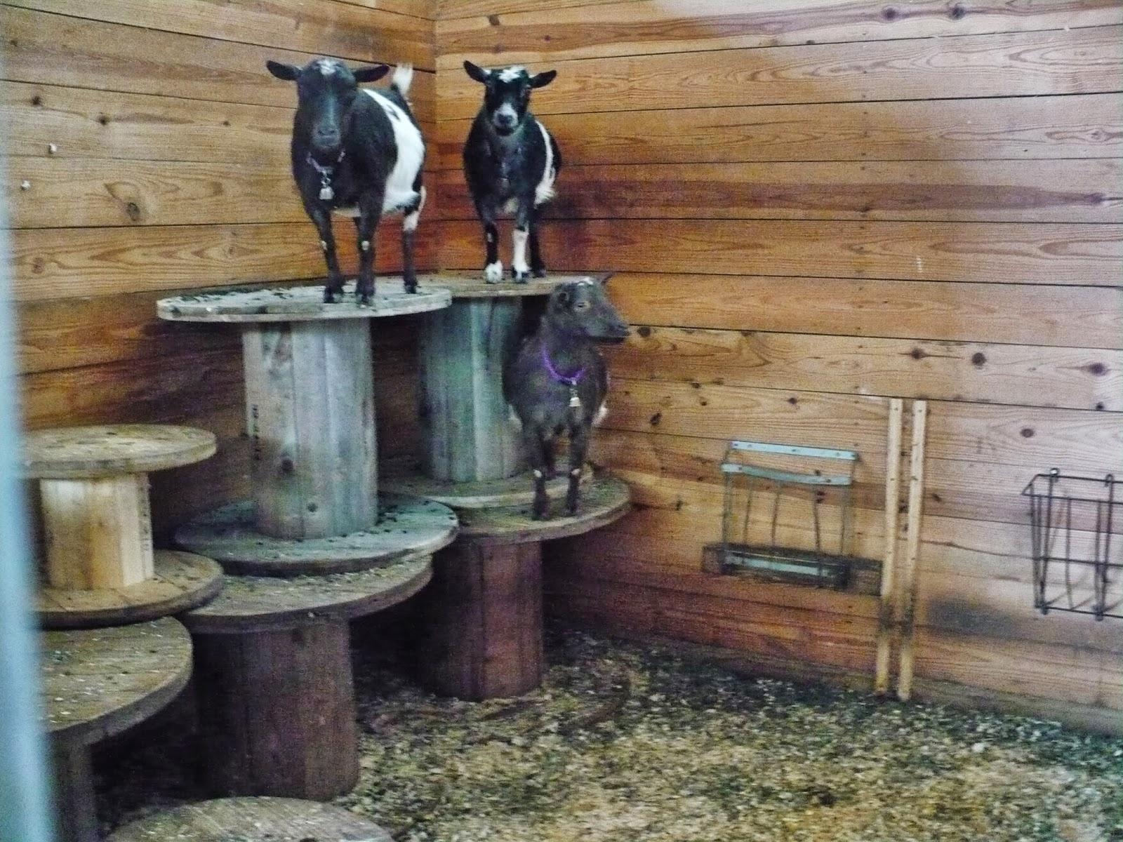 Life on a Small Acreage Goat Farm - The Thrifty Homesteader