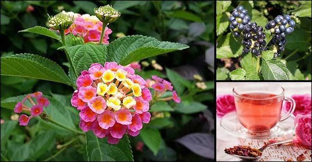 Lantana Camara (Kantutay): A Flowering Plant With Amazing Benefits