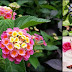 Lantana Camara (Kantutay): A Flowering Plant With Amazing Benefits
