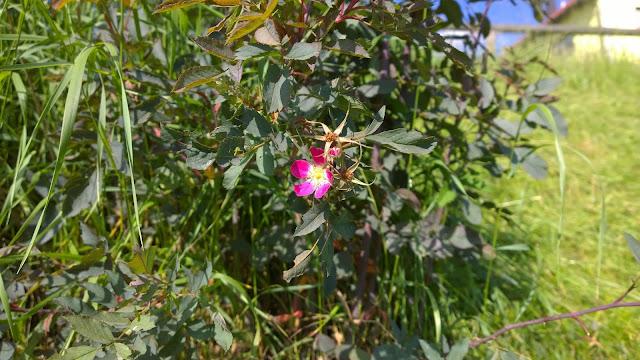 erste Blüte der unbekannten Rose (c) by Joachim Wenk