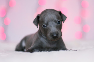 http://www.italiangreyhound.eu/2018/12/turquoise-boy.html
