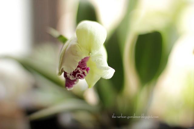 Cattleya orchid bud
