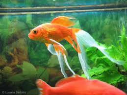 I pesci da acquario for Razze di pesci rossi