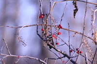 Wholly Winterberry - Royal Botanical Gardens