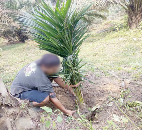 apkasindo replanting dini kebun kelapa sawit petani