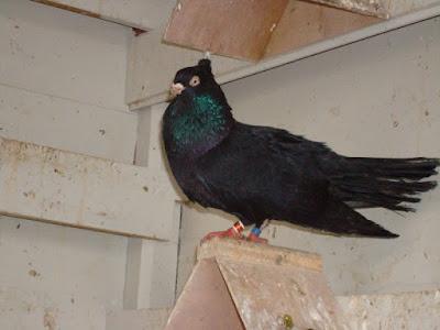 black roller pigeons