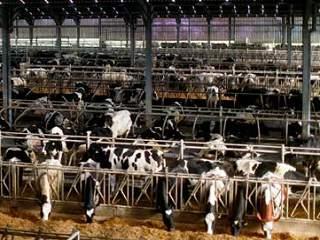 cows farmsanctuary