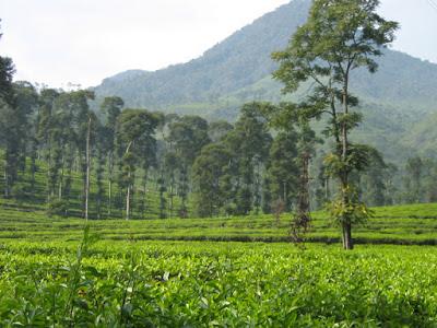 wisata pekalongan - kebun teh pagilaran