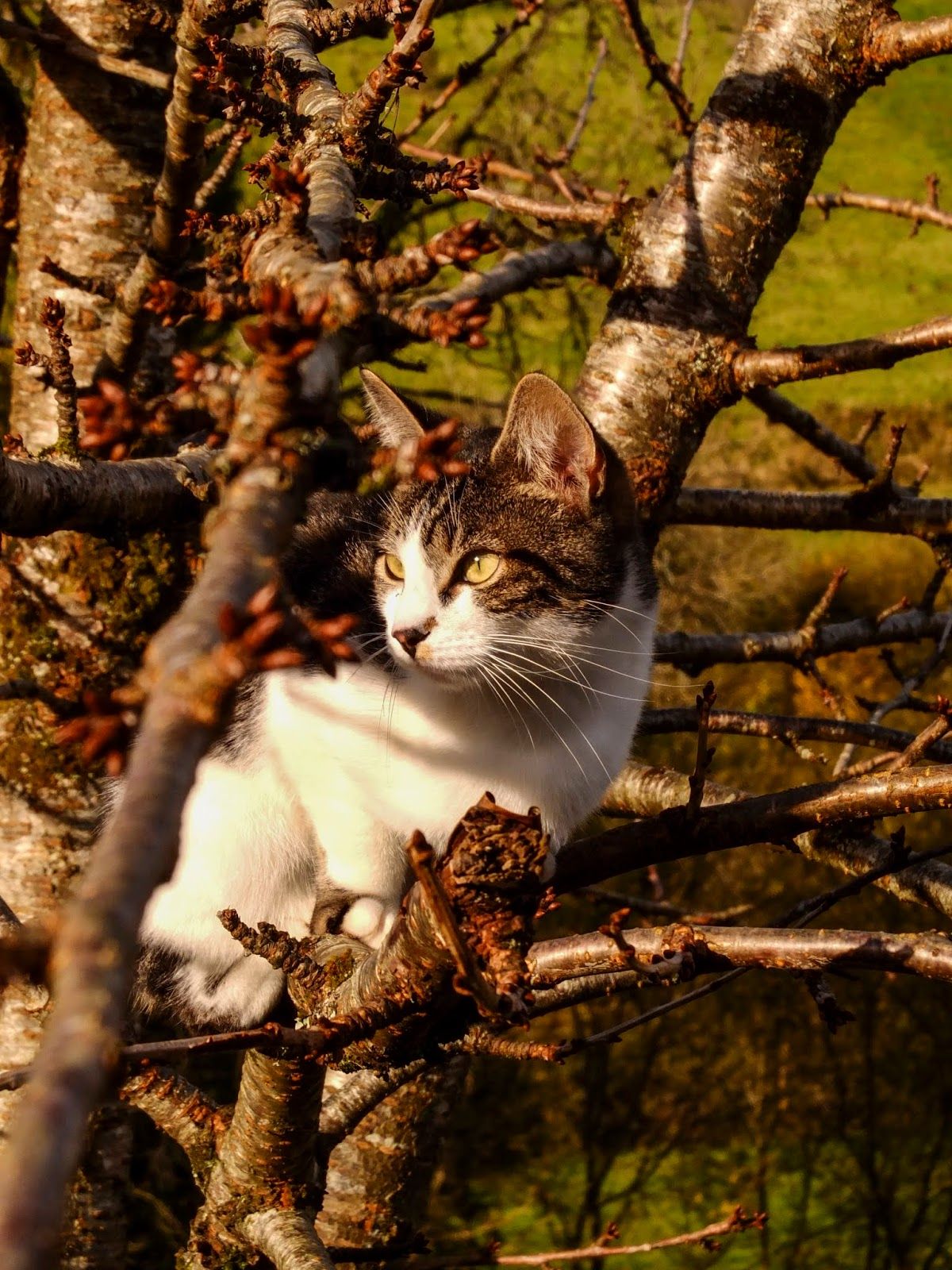 Sassy the cat sitting in a sunny spot inside a cherry tree.