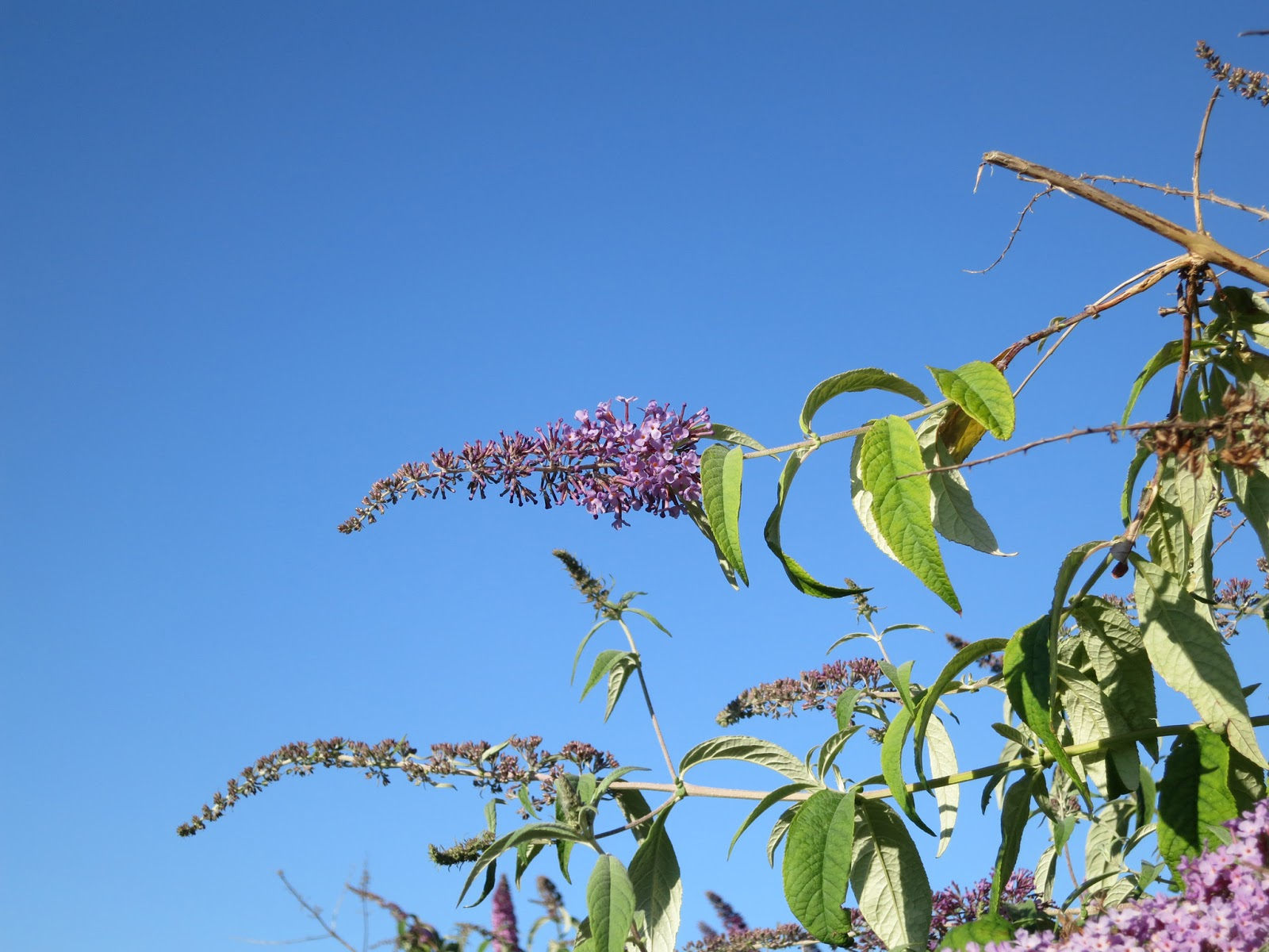 Buddleia just beginning to open against a blue sky