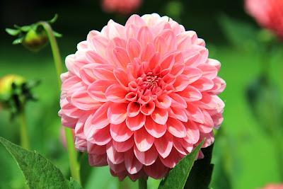 https://pixabay.com/pl/kwiat-jesieni%C4%85-ro%C5%9Blin-dalia-197343/
