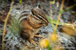 Professional quality nature animal photograph of a chipmunk eating seeds on a rock in Fremont, Idaho by Cramer Imaging