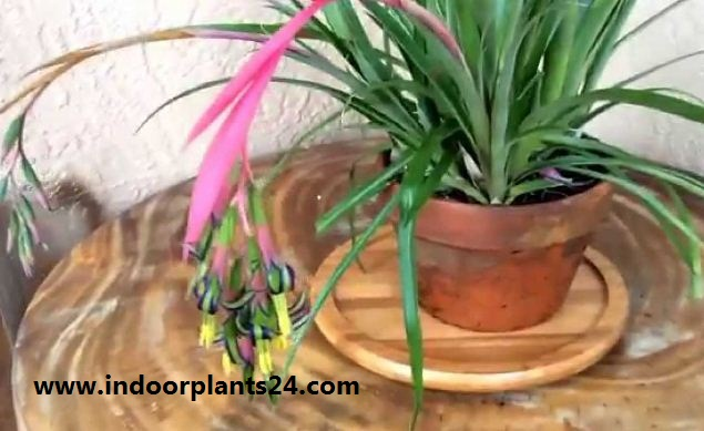 Bromeliaceae Queen's tears indoor plant photo