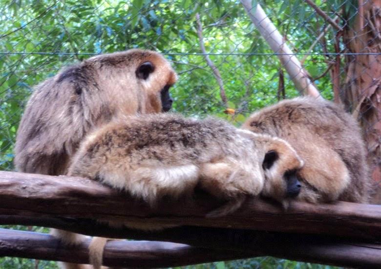 Fêmeas de Bugio no Gramado Zoo