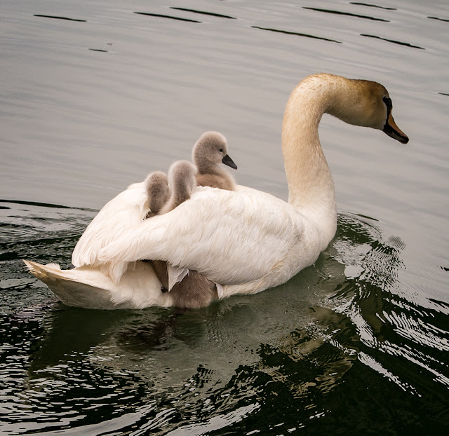 Photo of three cygnets hitching a ride on mum's back