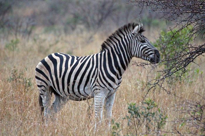 Zebra Phinda Privat Game Reserve