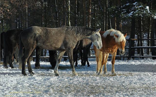 Paarden buiten in de sneeuw tijdens de winter