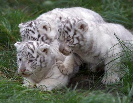 HD Animals: baby white tigers - photo#31